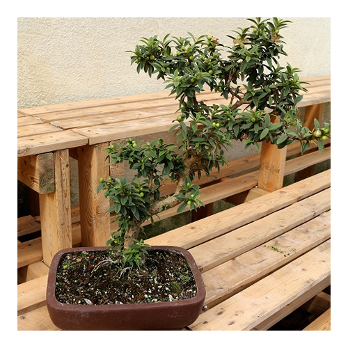 DL-0616-FloralShops-Bonsai-sq